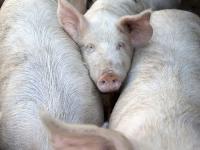 Die Schlachtschweinepreise stagnieren aufgrund des hohen Angebots.