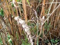 Zwergsteinbrand stellt in einigen Regionen ein gro�es Problem im Dinkelanbau dar.