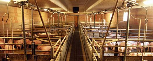 Ratgeber Energie: So sparen Sie in der Schweinehaltung