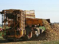 Im Rheinland beginnt n�chste Woche die Ernte der R�ben. Es werden Ertr�ge um die 80 t/ha erwartet.