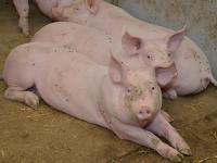 Anfang Juni war das Angebot an Schlachtschweinen ungew�hnlich klein.