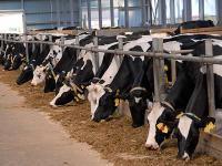 Milchk�he reagieren empfindlich auf Ver�nderungen beim Futter.
