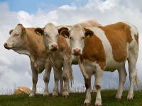 Der Bio-Milchpreis h�lt sich weiterhin stabil. Im Dezember wurde durchschnittlich 47,3 Cent f�r Bio-Milch gezahlt.
