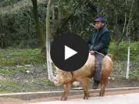 Netzschau: Landwirt reitet Schwein