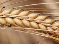 Das Pflanzenschutz- und Saatgutunternehmen Syngenta will seine Position mit zwei neuen Wirkstoffen, weiteren neuen Produkten und einer Konzentration auf die Getreidez�chtung ausbauen.