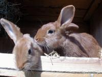 Wer Kaninchen nicht nur hobby-, sondern erwerbsm��ig h�lt, muss k�nftig klare Vorschriften einhalten.