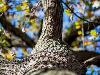 Eichen machen nur gut zehn Prozent aller Waldb�ume aus.