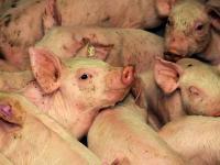 Straathof Betriebe lieferten kranke Schweine an Schlachth�fe.