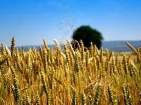 Trockenheit: 2 Millionen Tonnen weniger Getreide in 2015