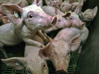 Kriminalbeamte untersuchten die Schweinezuchtanlagen in Sch�ngleina und Wetzdorf.