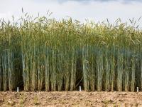 KWS plant zuk�nftig eine stetige j�hrliche Ertragssteigerung im Hybridroggen von 1,5 Prozent.