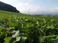 Aufgrund des sehr milden Herbstwetters hat sich der Raps inzwischen vielerorts zu weit entwickelt, die ersten Pflanzen schieben den Vegetationskegel bereits an.