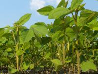 2014 wurden etwa 10.000 Hektar Sojabohnen in Deutschland angebaut.