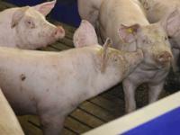 Der Schweinemarkt pr�sentiert sich aus Erzeugersicht wieder etwas freundlicher.