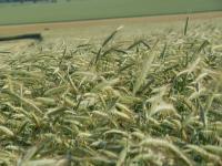 Im letzten Herbst hatte die Wintergerste in Niedersachsen gute Anbaubedingungen.