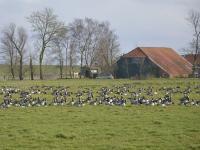 G�nse auf Gr�nlandfl�chen in Jemgum/Ostfriesland.