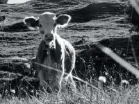 """So sieht die Oktober-Kuh in Plettenbergs neuem Kalender """"Meine K�he 2014"""" aus."""