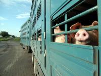 Die Experten diskutierten in Bonn �ber Erleichterungen beim deutsch-holl�ndischen Schweinetransport.