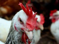 Die Tierwohl-Initiative sieht unter anderem vor, dass ab Anfang 2015 freiwillige Vereinbarungen zum Verzicht auf das Schn�belk�rzen vorliegen. Daf�r gab es Lob und Tadel.