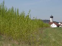 Pappelplantage.jpg