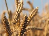 Die bayerischen Landwirte ernteten 2014 mehr Weizen.