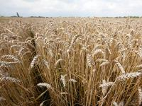 Letzte Woche waren die Weizenpreise auf Berg- und Talfahrt. Zuerst machten sie einen kr�ftigen Sprung nach oben, am Ende der Woche ging es wieder bergab.