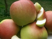 Die Apfelernte 2014 in Niedersachsen ist in vollem Gange. Sie hat bereits Mitte August mit fr�hen Sorten wie 'Delbarestival' begonnen.