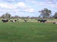 Milchk�he auf einer Farm in Westaustralien.