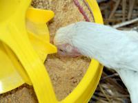 In manchen Regionen sanken mit r�ckl�ufigen Mischfutterpreisen die Auszahlungspreise f�r Masth�hnchen.